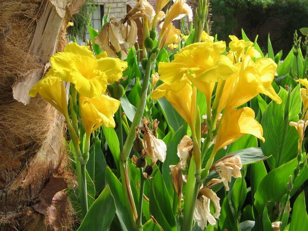 Цветы канны желтые